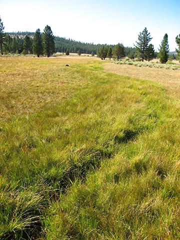 Healthy wet meadow tributary showing a distinct hyporheic zone, Plumas National Forest, CA